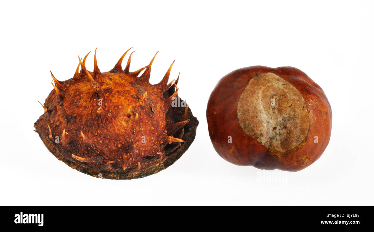 Common Horse-chestnut nuts / conkers (Aesculus hippocastanum) on white background - Stock Image