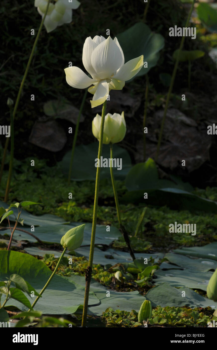 Lotus lake stock photos lotus lake stock images alamy white lotus flower in the lake stock image izmirmasajfo