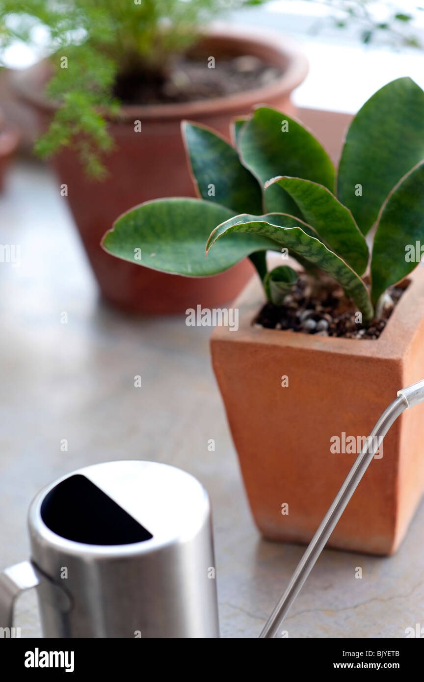 Potted plants and watering can - Stock Image