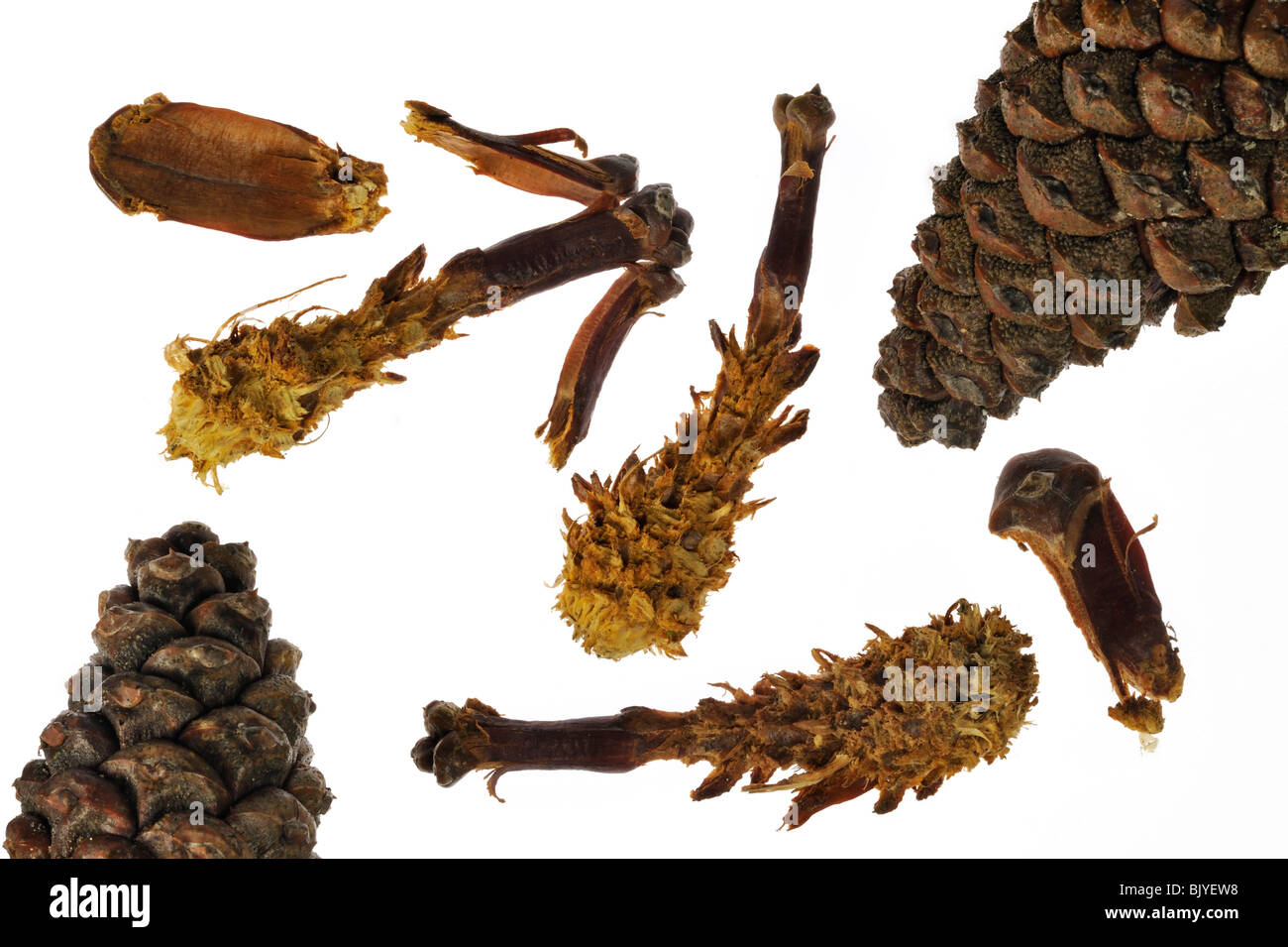 Pine cones from Scots Pine (Pinus sylvestris) stripped by Red squirrel (Sciurus vulgaris) remains of feeding - Stock Image