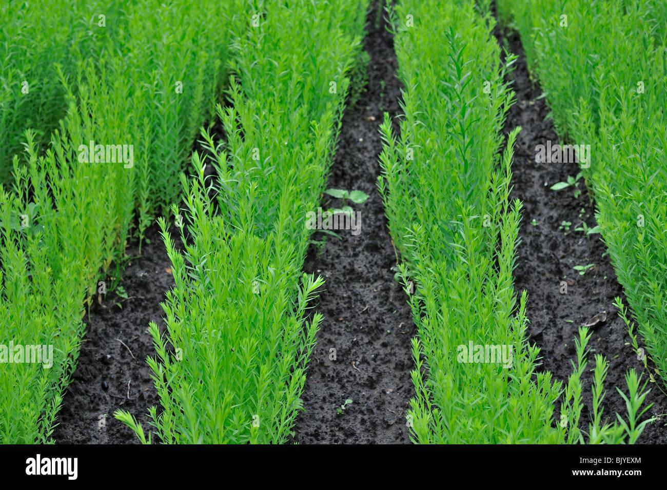 Common flax / Linseed (Linum usitatissimum) in field, Belgium - Stock Image