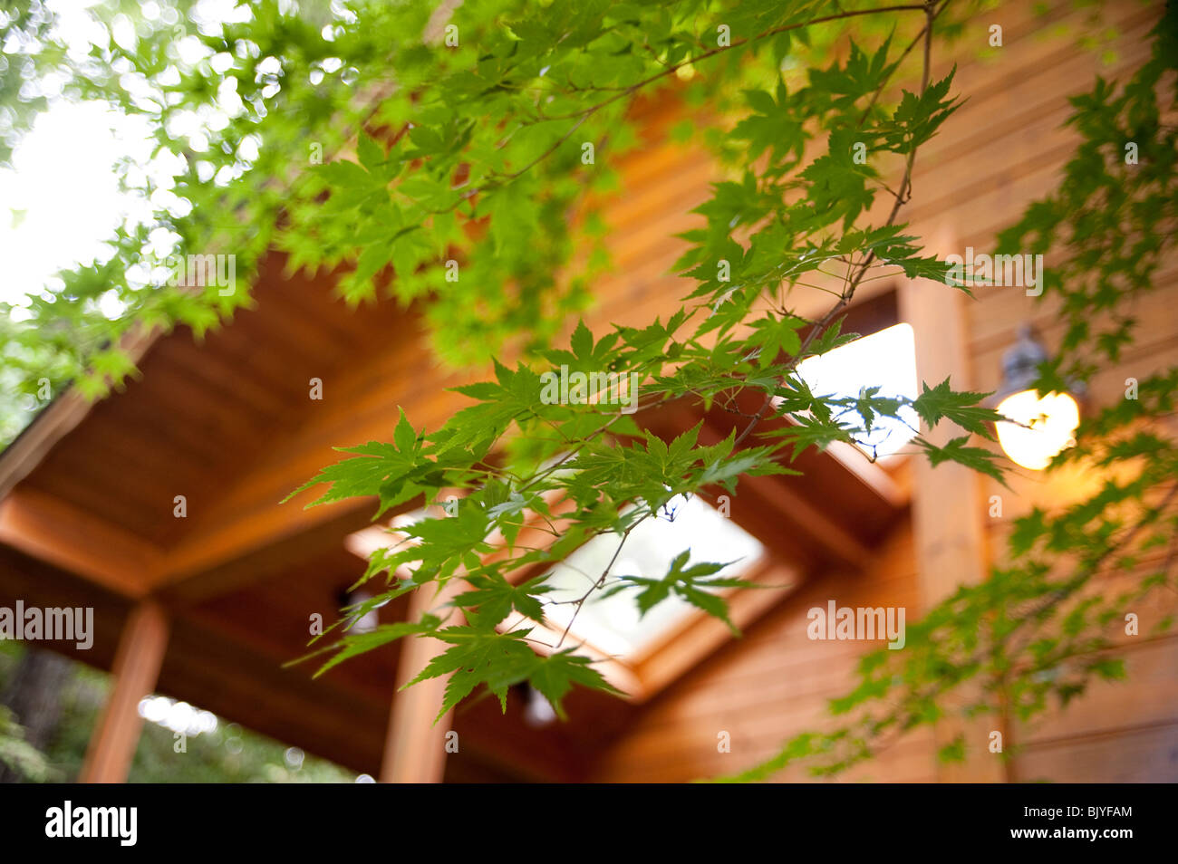Green maple leaves in front of log cabin - Stock Image