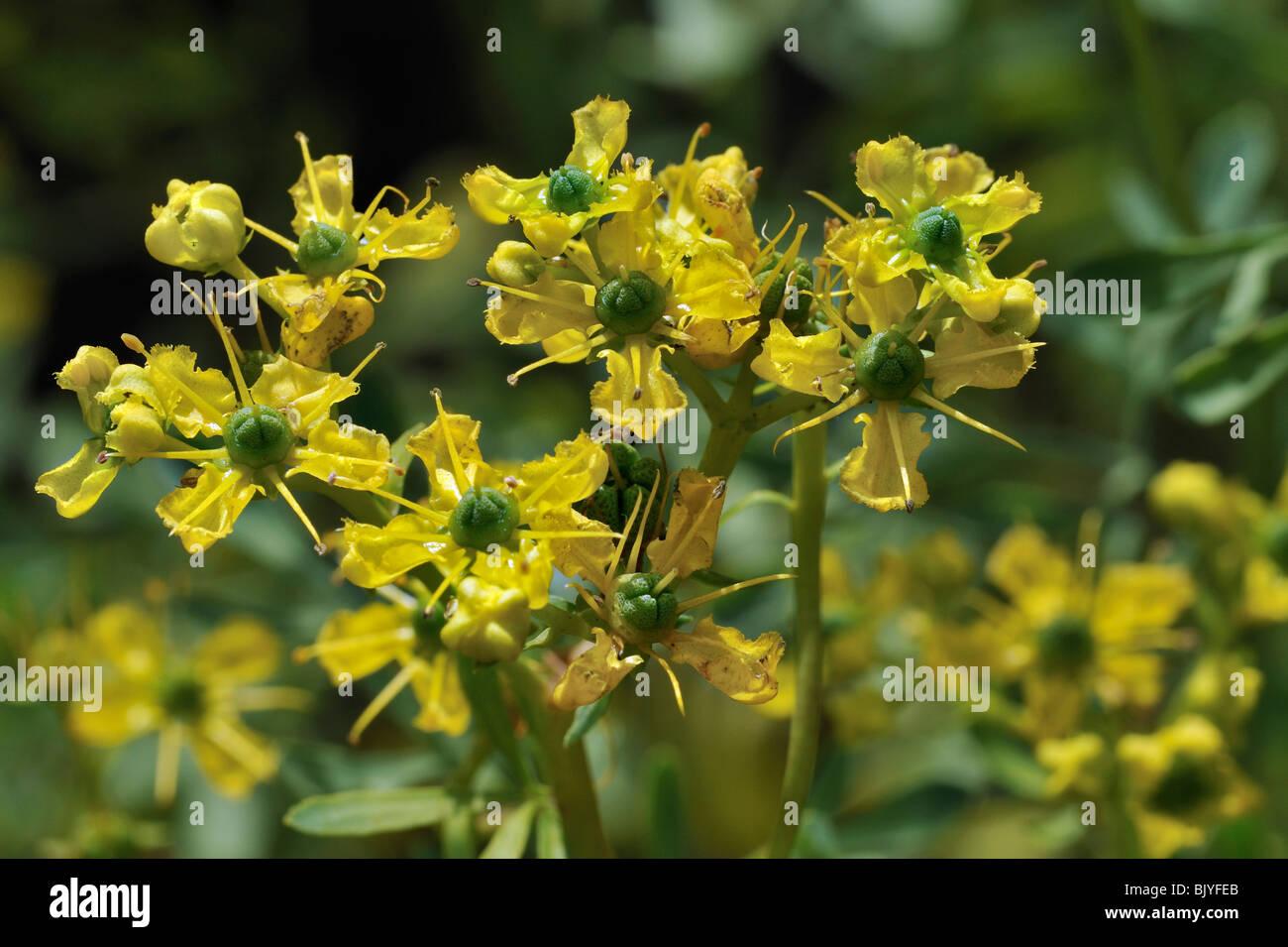 Common rue / Herb-of-grace (Ruta graveolens) in flower, Belgium - Stock Image