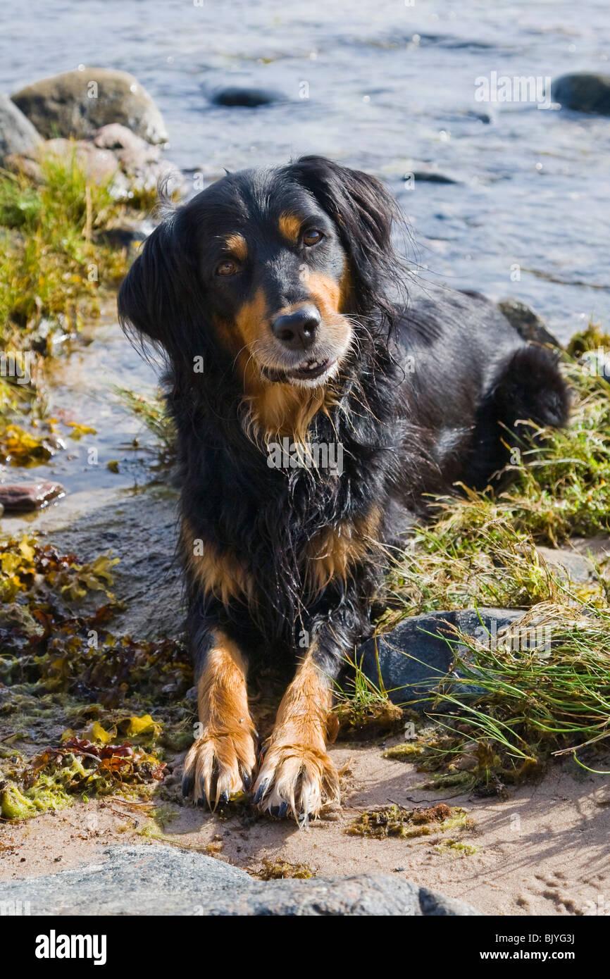 Smiling gordon setter mix dog. Stock Photo