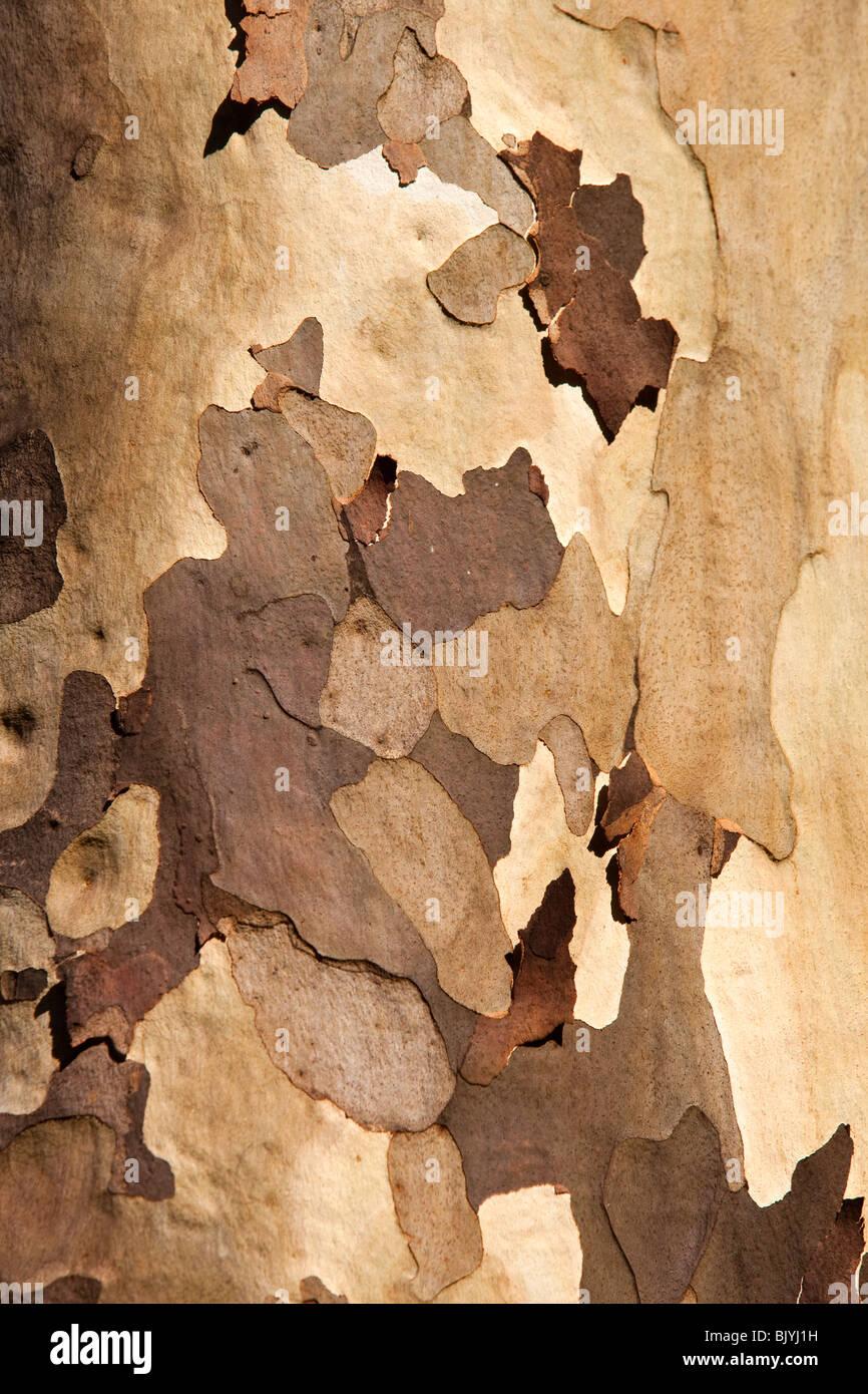 India, Tamil Nadu, Udhagamandalam (Ooty), Botanical Gardens, mottled bark of eucalyptus tree - Stock Image