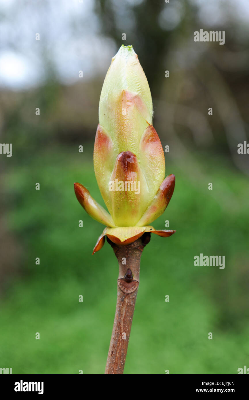 Stickybud bud on horse chestnut tree Aesculus hippocastanum uk - Stock Image