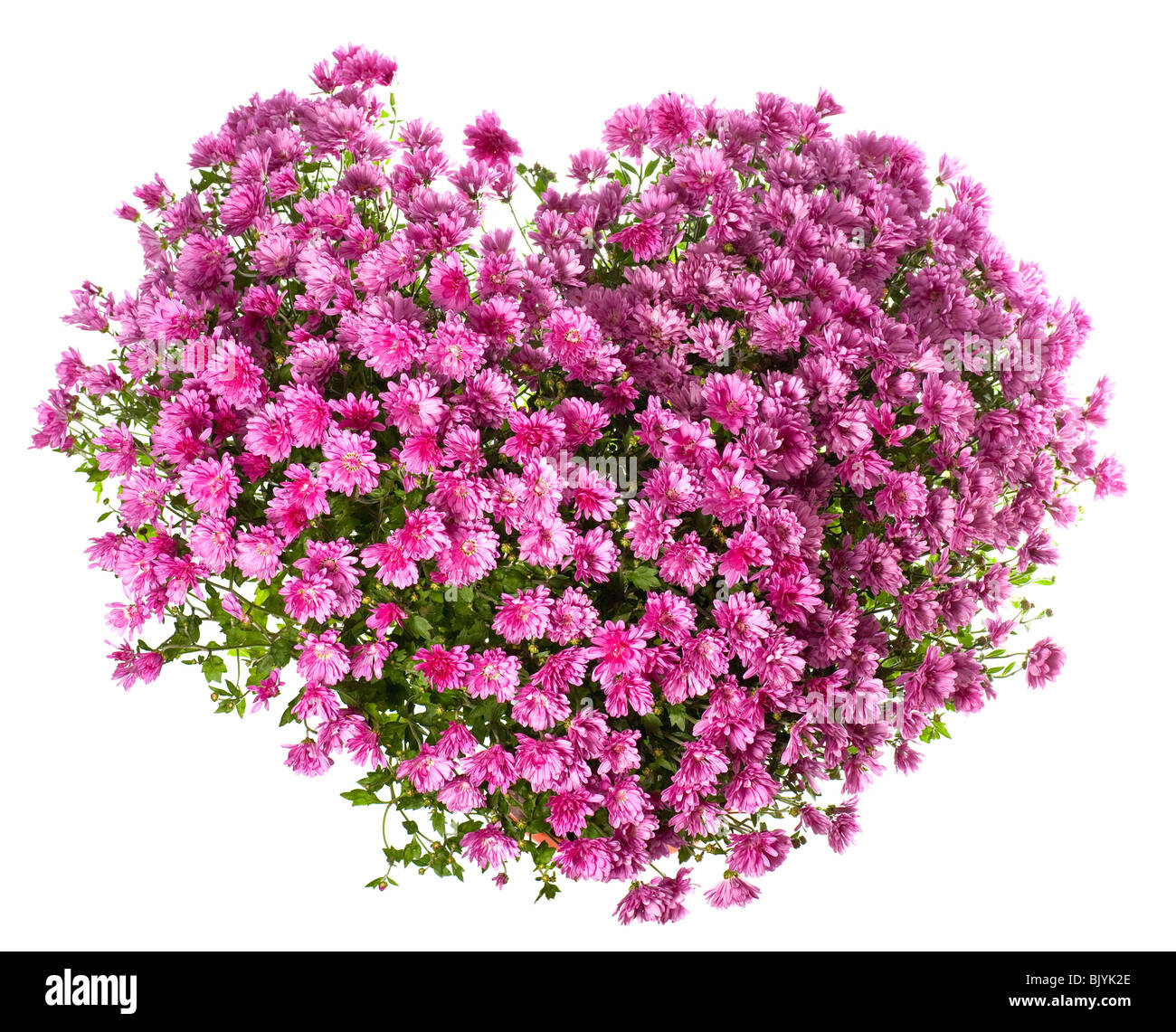 Potted magenta chrysanthemums bush in heart shape (isolated on white background) - Stock Image