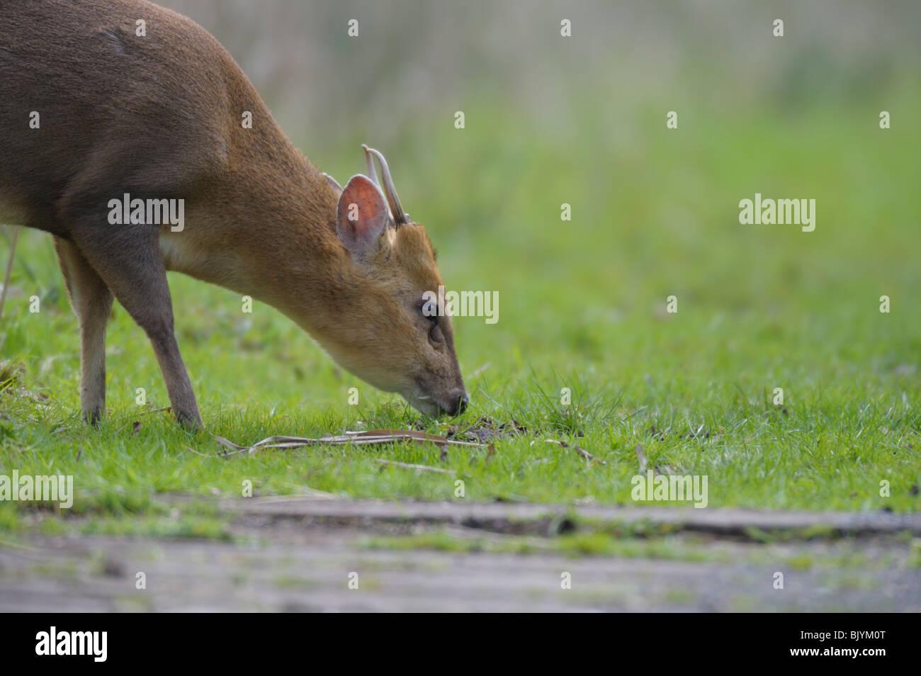 Reeves Muntjac(Muntiacus reevesi) feeding on grasses. - Stock Image