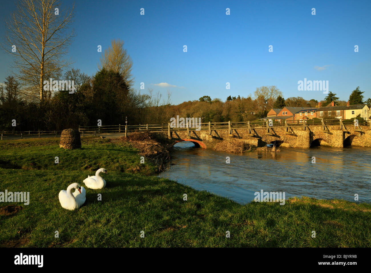 Pair of mute Swans, besides the East Bridge Tilford. - Stock Image