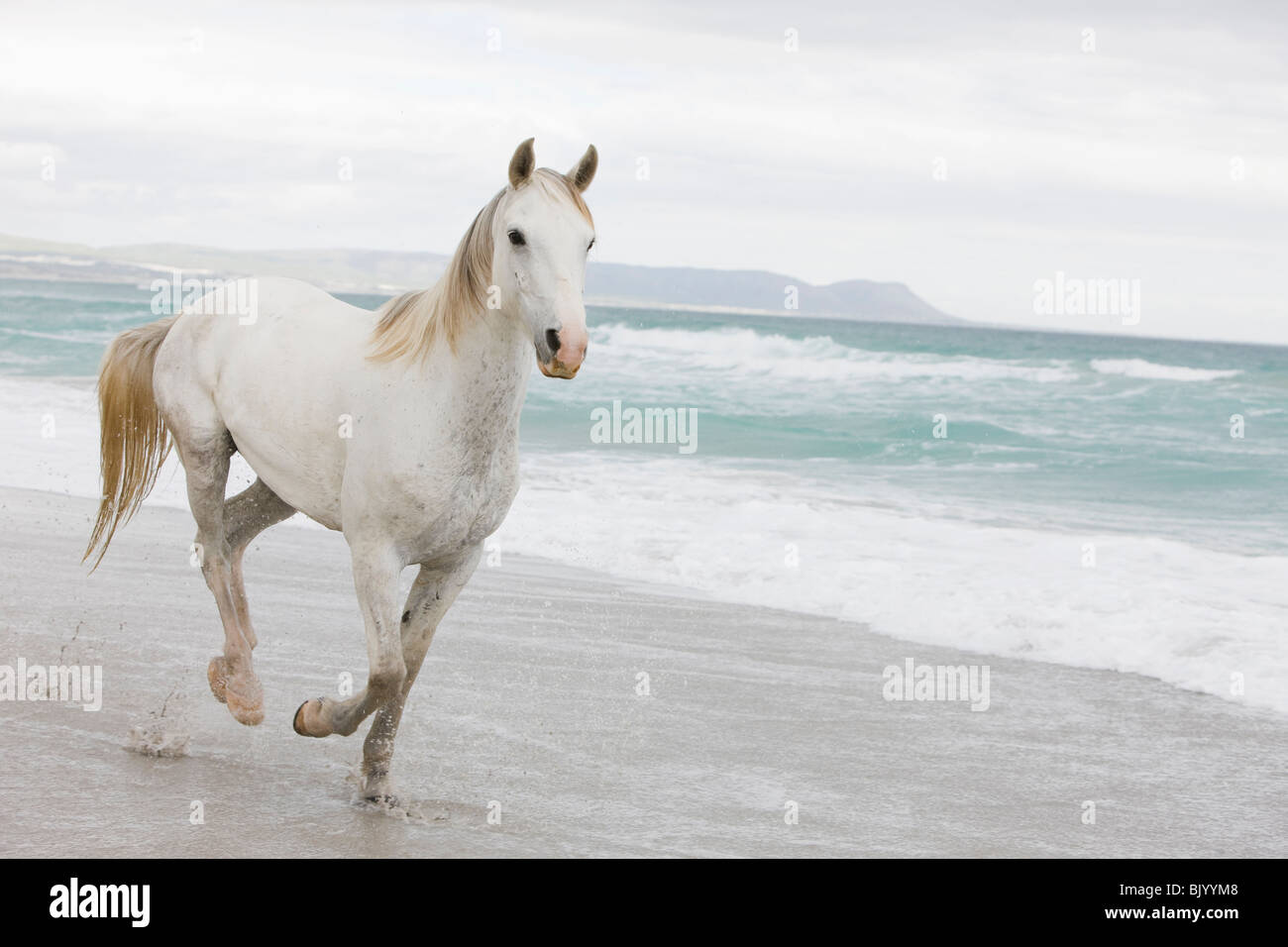 Horses on the beach - Stock Image