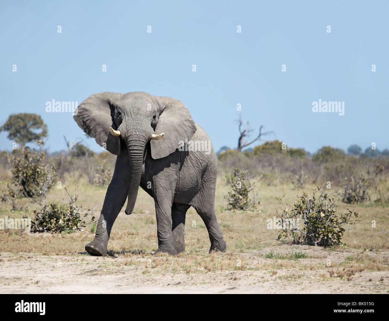 Adult male African Elephant posing in a 'mock charge' - Stock Image