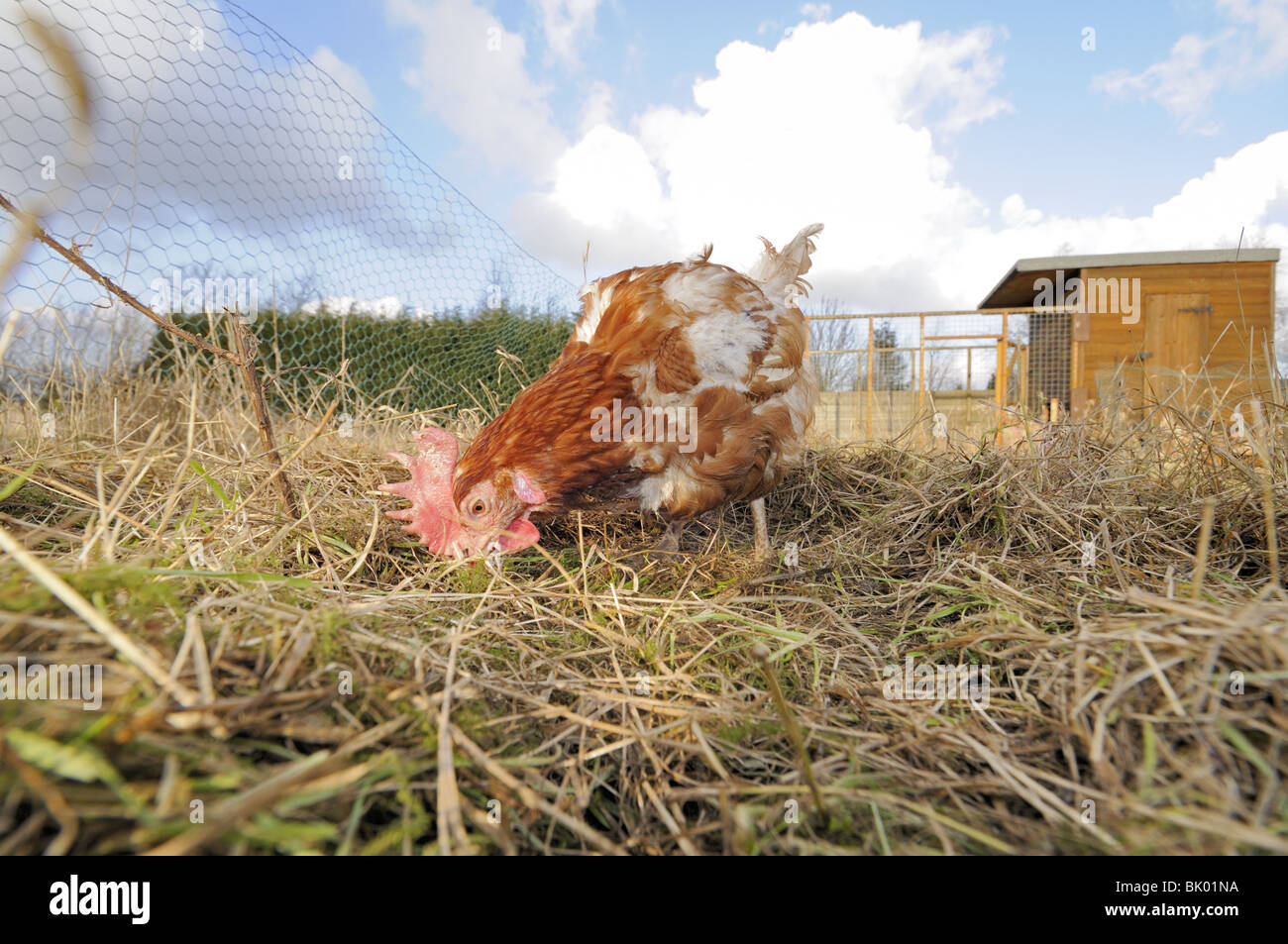 Rescued Ex Battery hens, (hybrids), re-homed on rural allotment, enjoying free-range retirement, Norfolk, Uk, February Stock Photo
