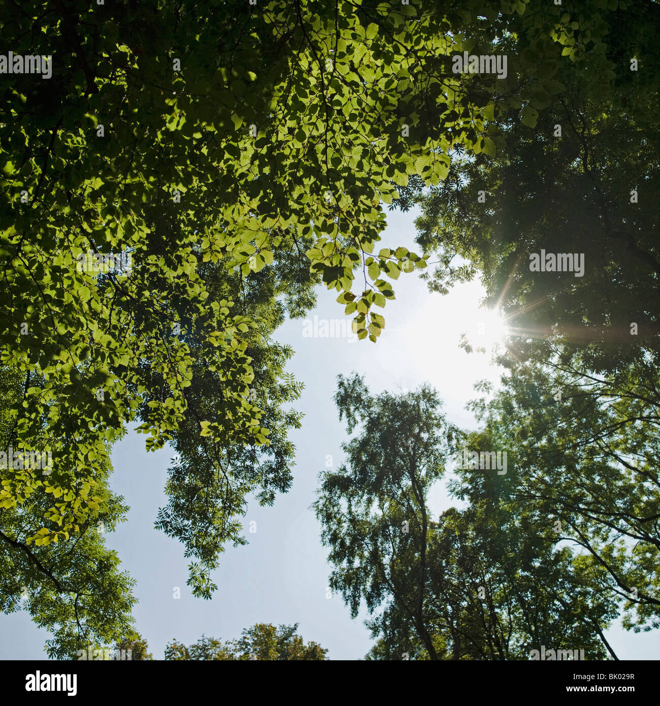 Sun shinning trough leafs - Stock Image