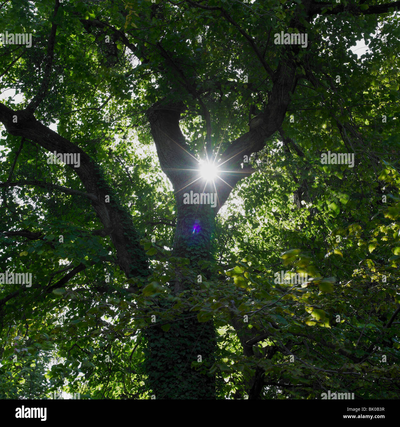 Sun shinning trough leafs of tree - Stock Image