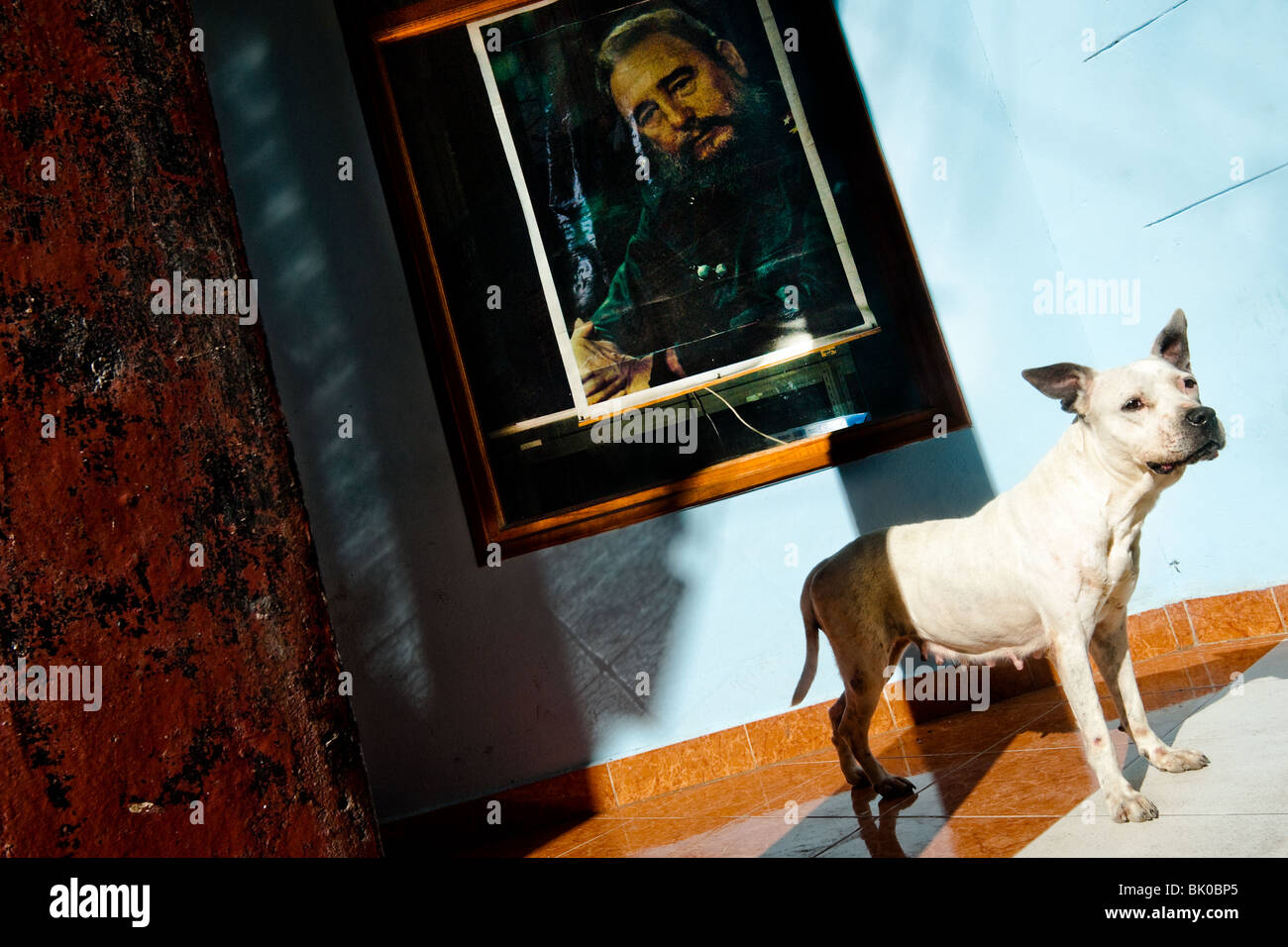 A white pit bull terrier stands in front of a portrait of Fidel Castro, hung on the wall in Havana, Cuba. - Stock Image