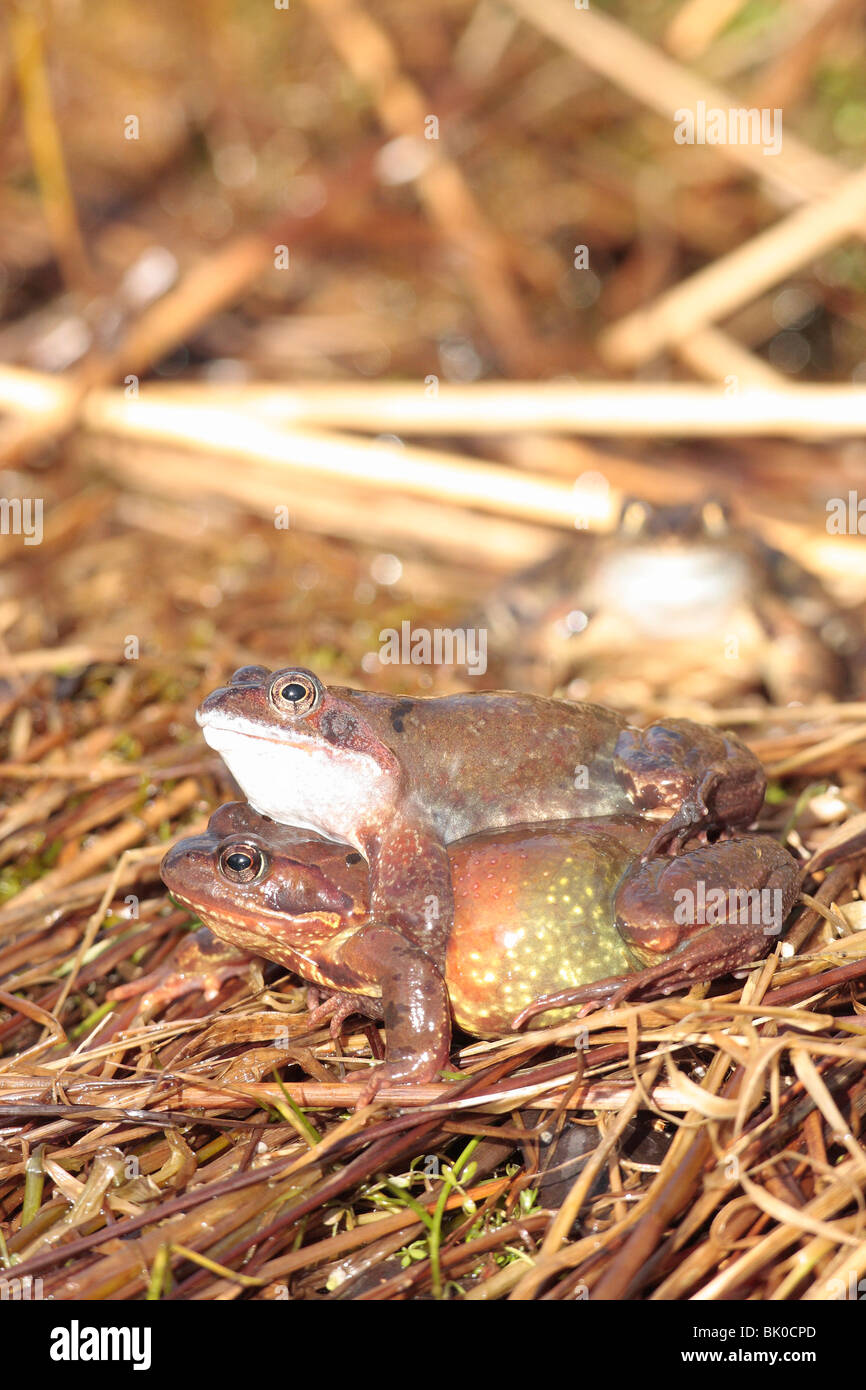 Common Frogs at spawning time. - Stock Image
