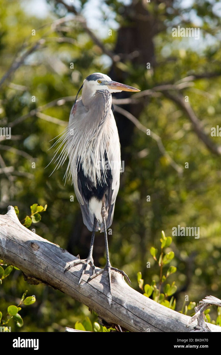 Great Blue Heron - J.N. Ding Darling National Wildlife Refuge - Sanibel Island, Florida USA - Stock Image