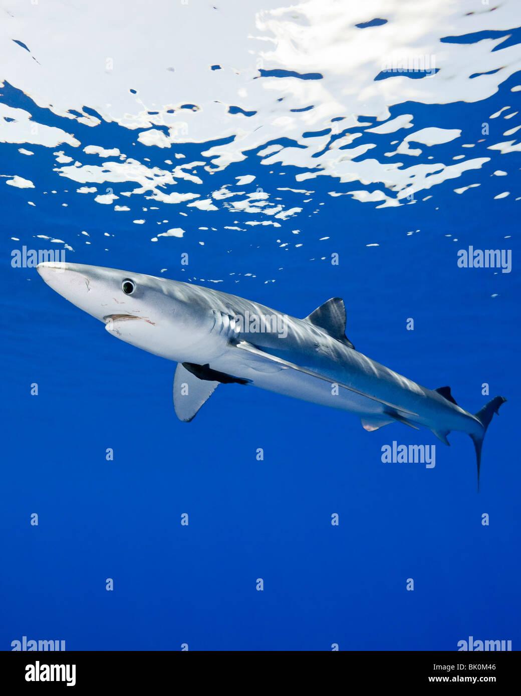 Blue shark, Prionace glauca, large female with mating scar on its side Stock Photo