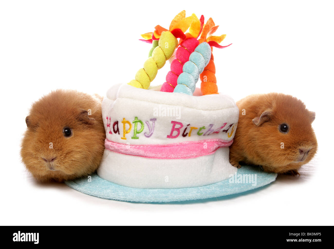 Domestic Guinea Pig Cavia Porcellus Portrait Of Two Adults Resting Next To Birthday Hat Cake Studio UK