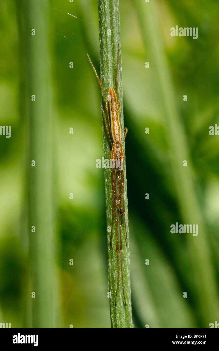 A long-jawed orbweaver waits hidden next to its web, with one leg touching a radial spoke to feel for newly captured - Stock Image
