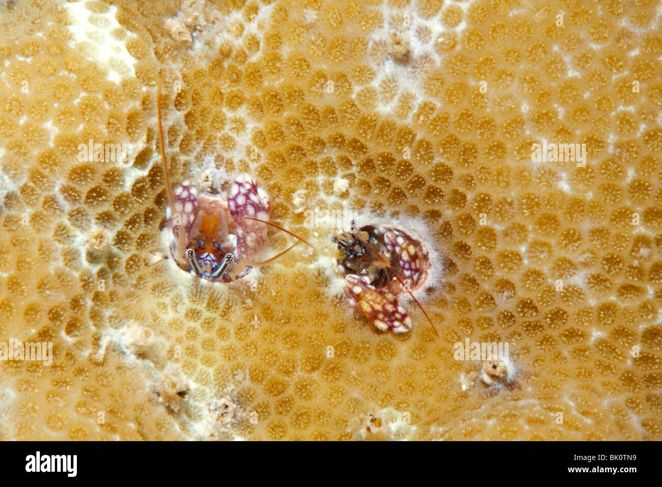 Coral hermit crabs, Paguritta sp - Stock Image