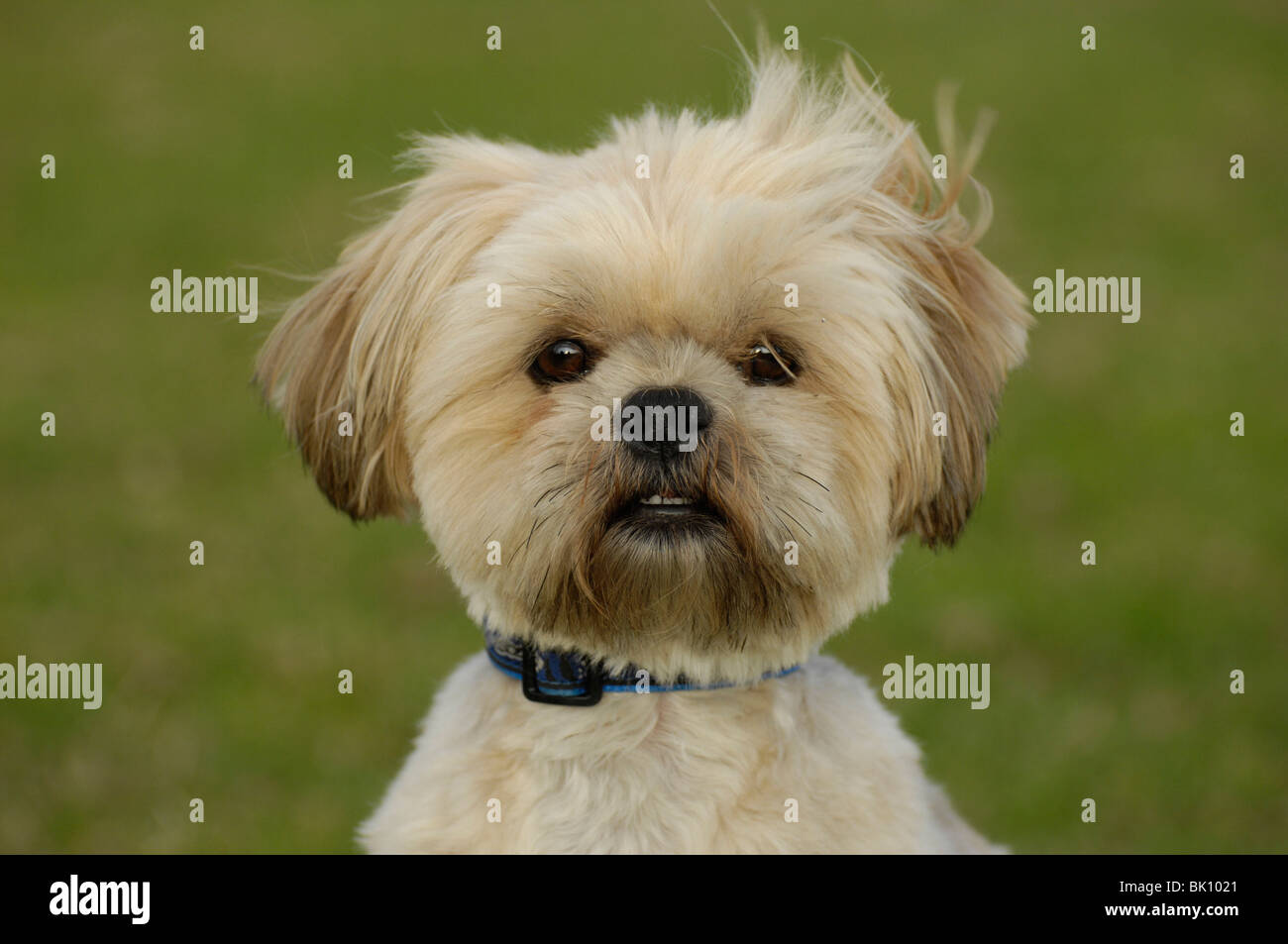 Lhasa Apsos Short Hair High Resolution Stock Photography And Images Alamy