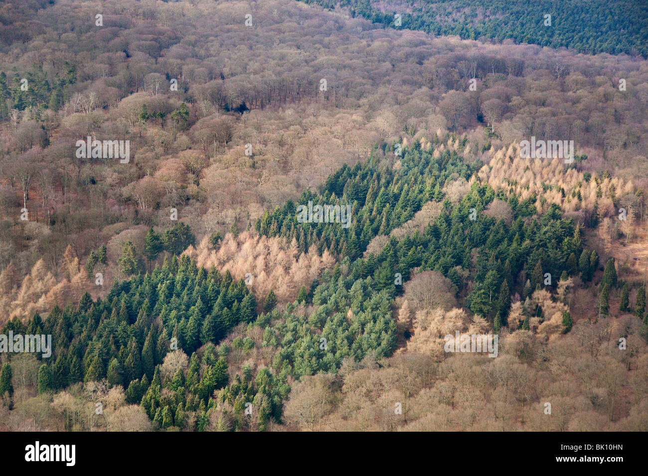 Conifers and Beech woodland an aerial view of Felbrigg woods Norfolk March - Stock Image