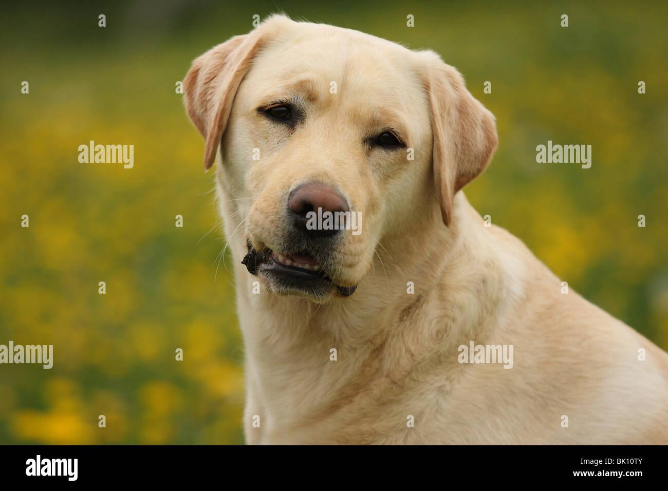 blonde Labrador Retriever - Stock Image