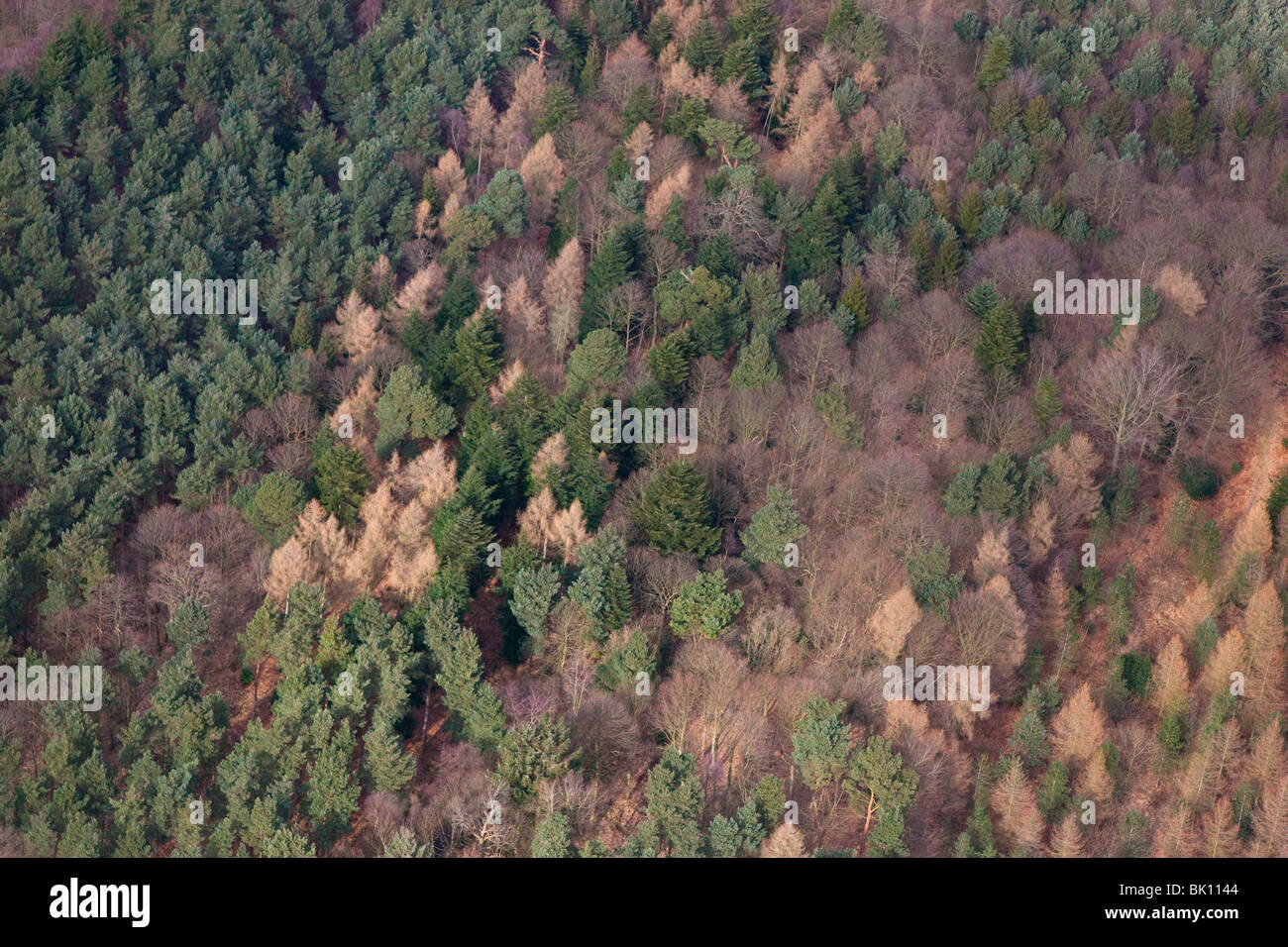 Conifers and Beech woodland an aerial view of Felbrigg Great Wood Norfolk - Stock Image