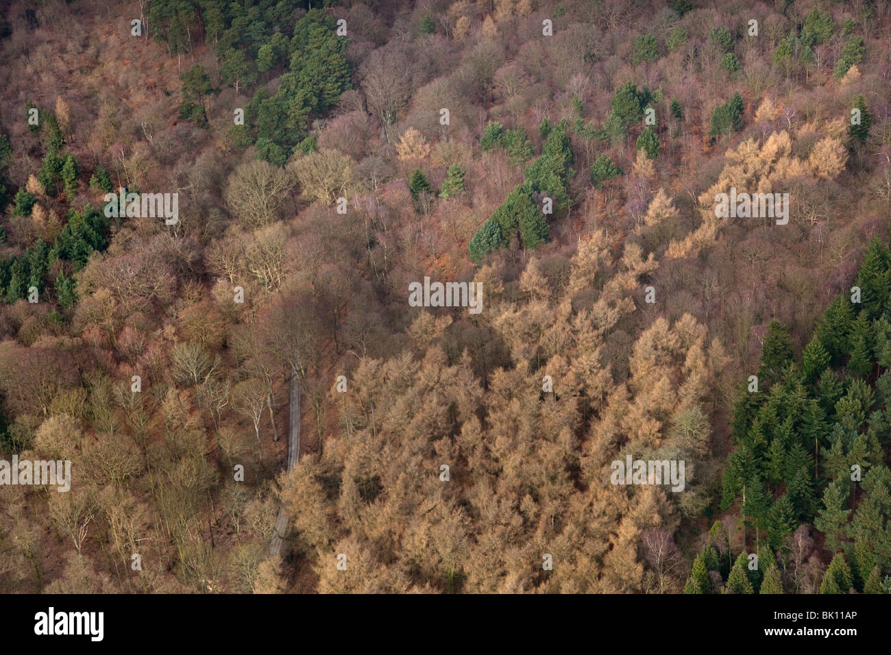 Conifers and Beech woodland aerial view of Sherringham Park Norfolk March - Stock Image