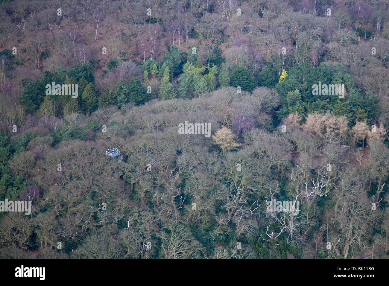 Conifers and Oak woodland aerial view of Sherringham Park Norfolk March - Stock Image
