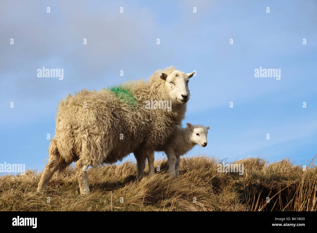 Ewe with spring lamb, Mid Wales - Stock Image