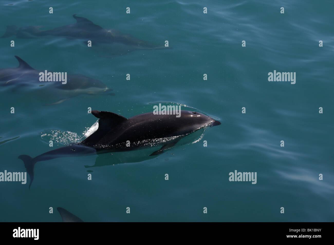 dusky dolphin - Stock Image