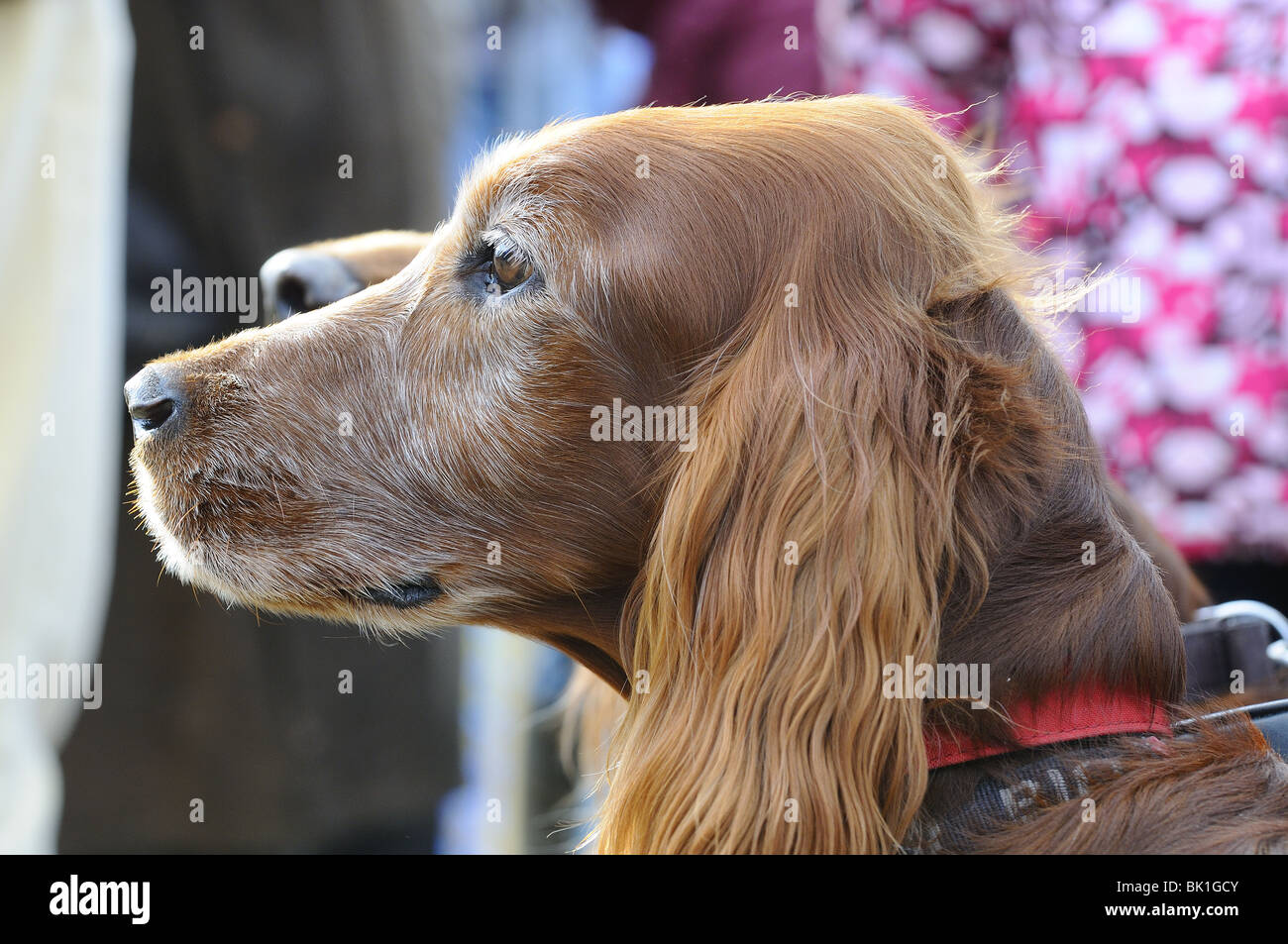 Red Setters  at a Point to Point race at Kingston Blount, Oxfordshire , England - Stock Image