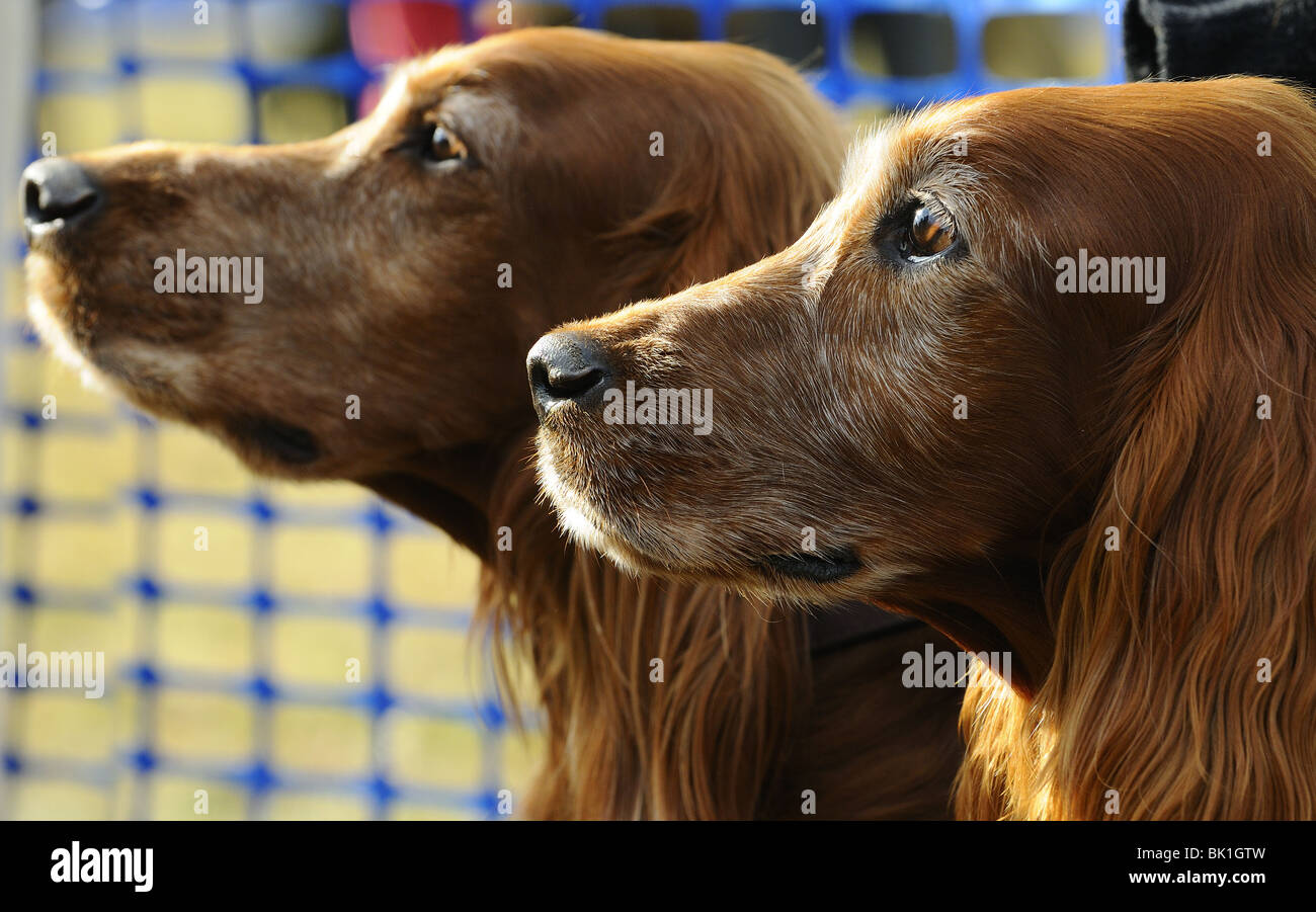 Red Setters  at a Point to Point race meeting Kingston Blount, Oxfordshire , England - Stock Image