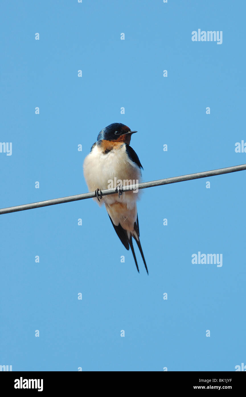 Barn Swallow on a telegraph wire in Bangkok, Thailand Stock Photo ...