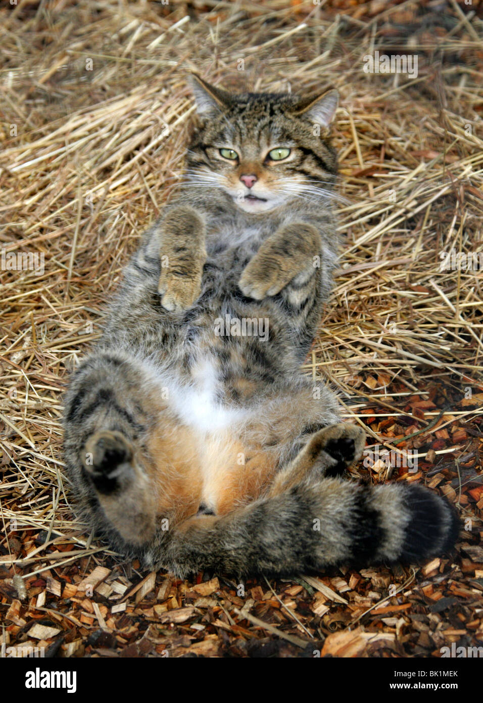 Scottish Wild Cat, Felis silvestris grampia, Felidae, Northern and Western Scotland. In Untypical Playful Mood. - Stock Image