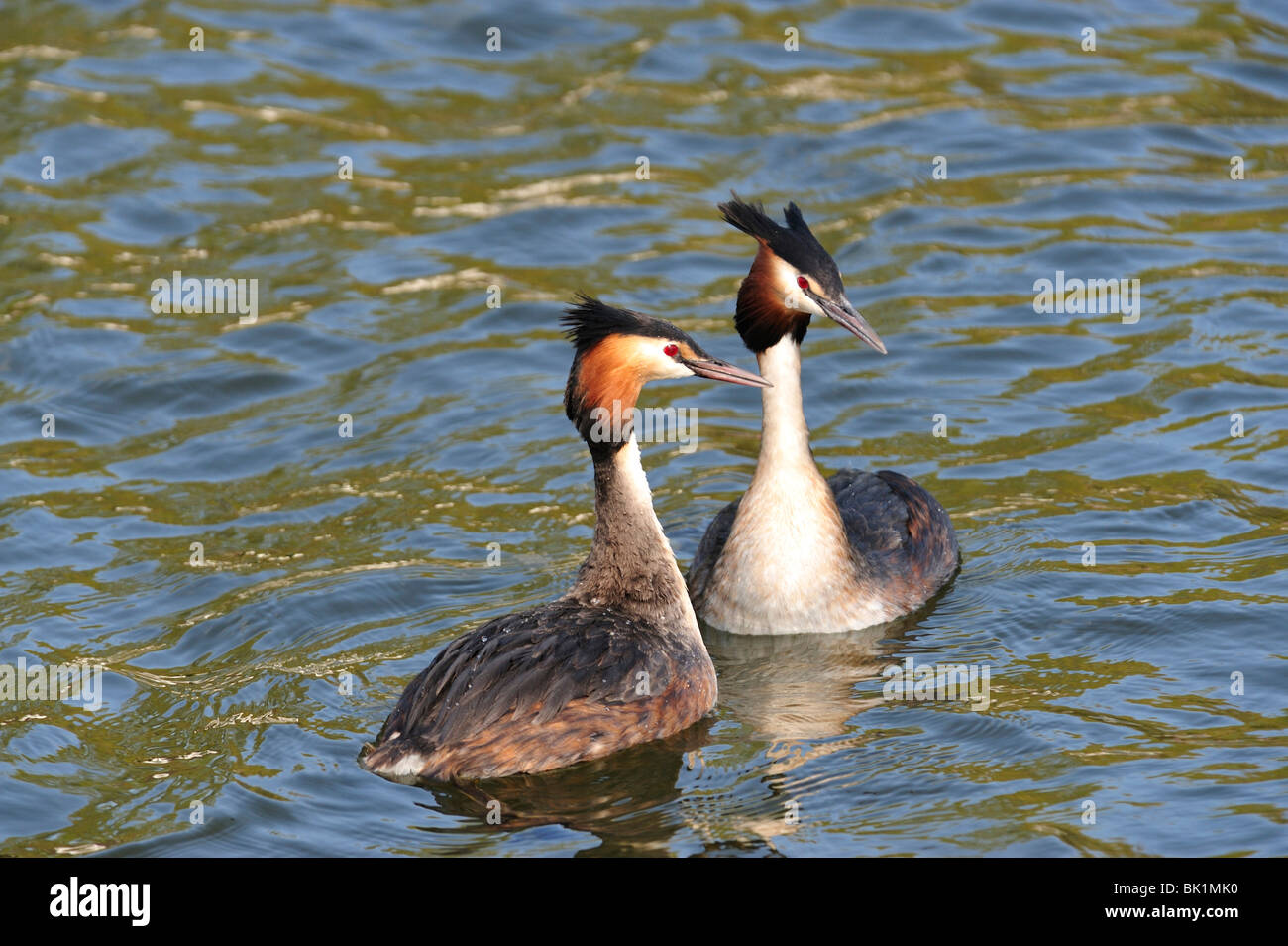 Great Crested Grebe Mating Dance - Stock Image