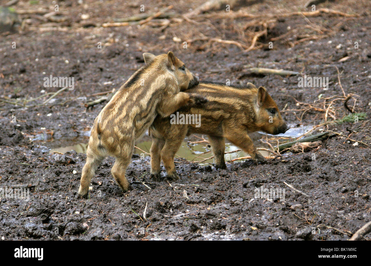 European Wild Boar Piglets, Sus scrofa scrofa, Suidae, Playing in the Mud - Stock Image