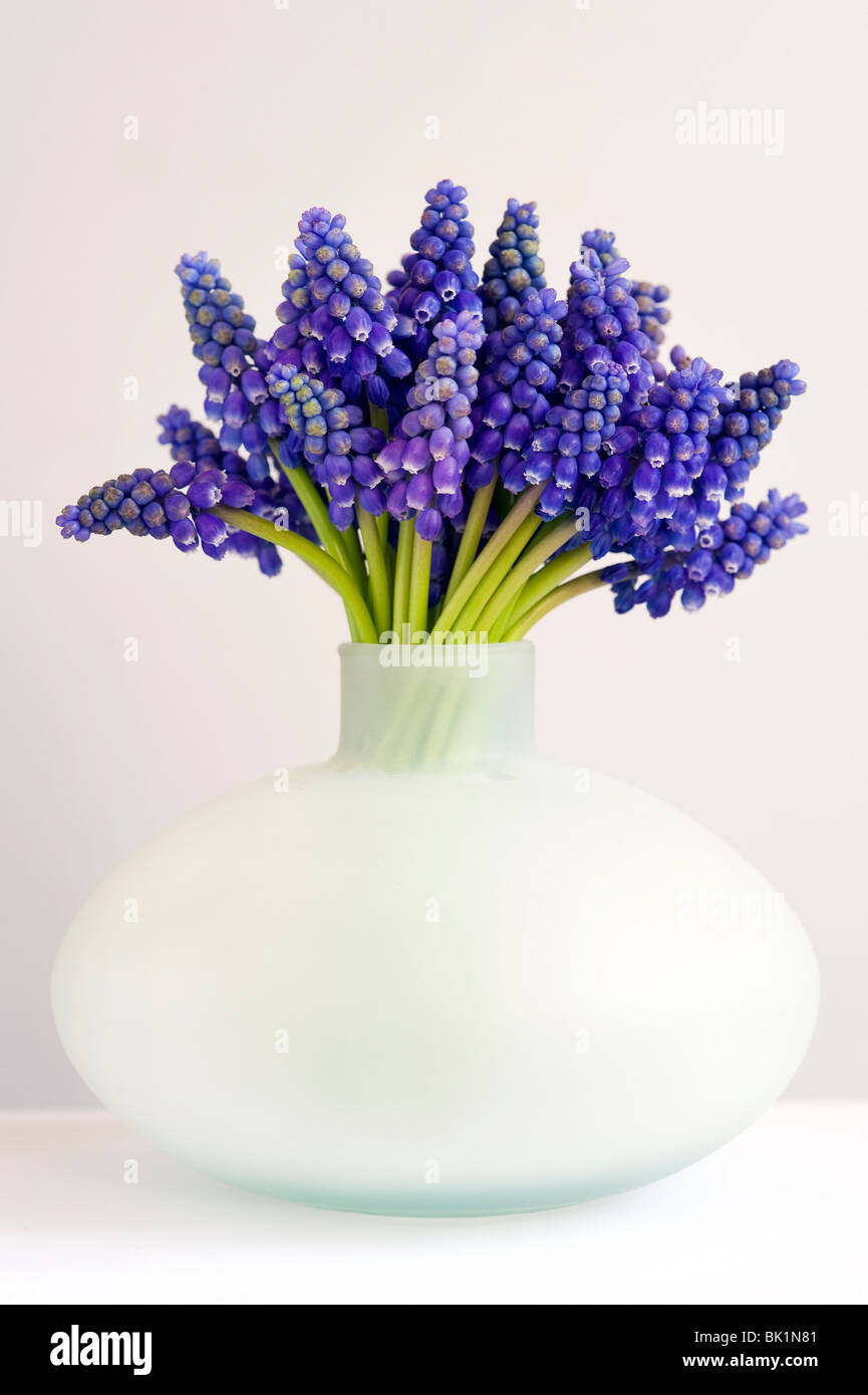 bunch of muscari or grape hyacinth in a vase can against a white background - Stock Image
