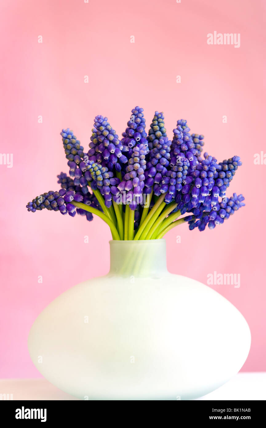 bunch of muscari or grape hyacinth in a vase can against a pink background - Stock Image
