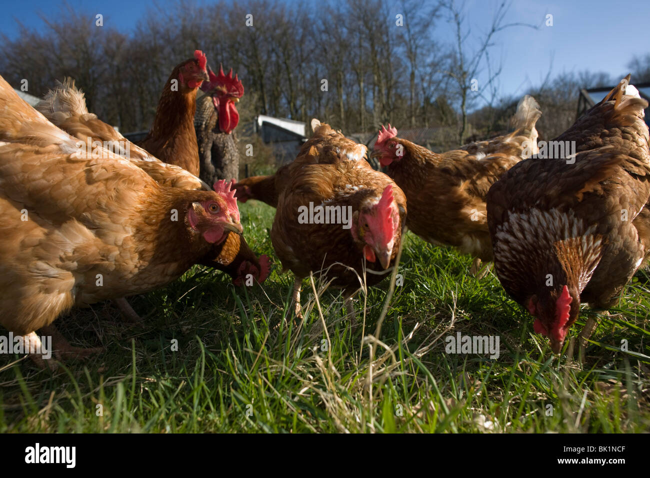 Free range hen chickens roam in a green field belonging to a smallholding farm in North Somerset, England. - Stock Image