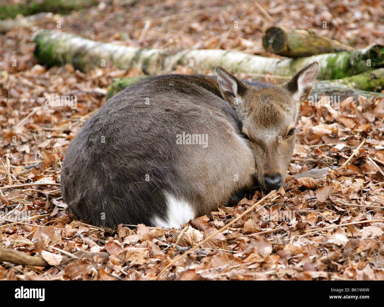 Sika Deer Fawn, Cervus nippon nippon, Cervidae. - Stock Image