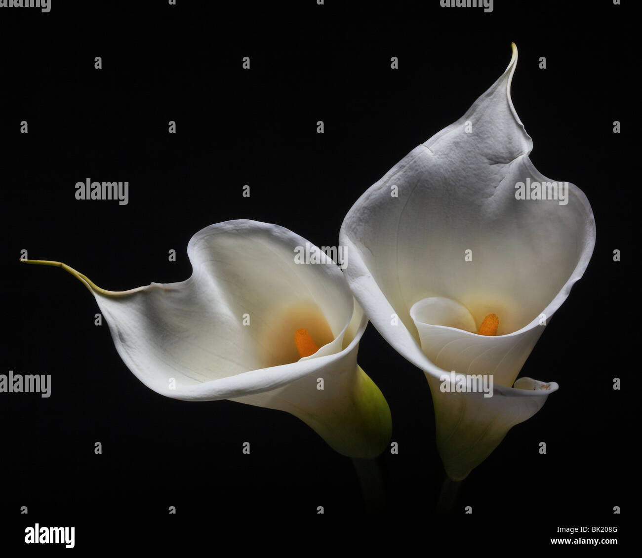 Two Calla Lilies against black background - Stock Image
