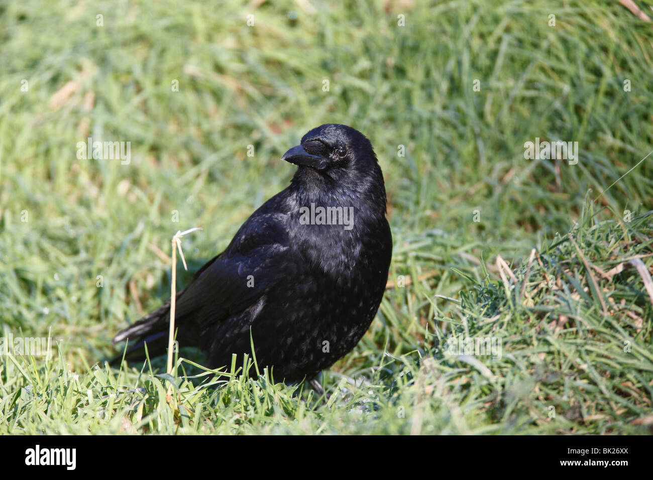 carrion crow (Corvus corone) looking for food in long grass - Stock Image