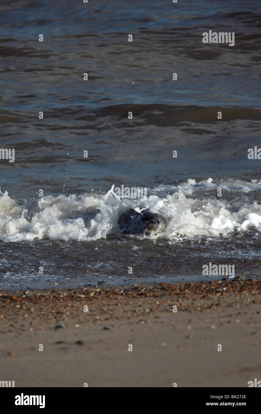 Grey seal (Halichoerus grypus) playing in the surf Stock Photo