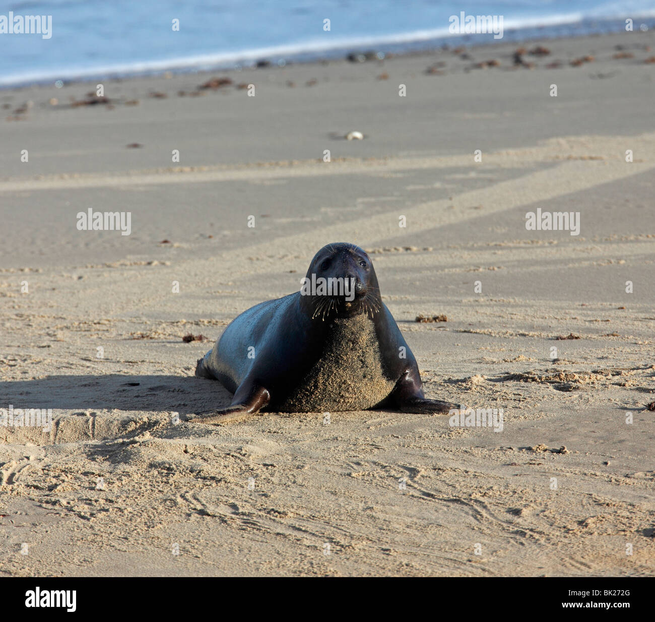Grey seal (Halichoerus grypus) bull coming up beach Stock Photo
