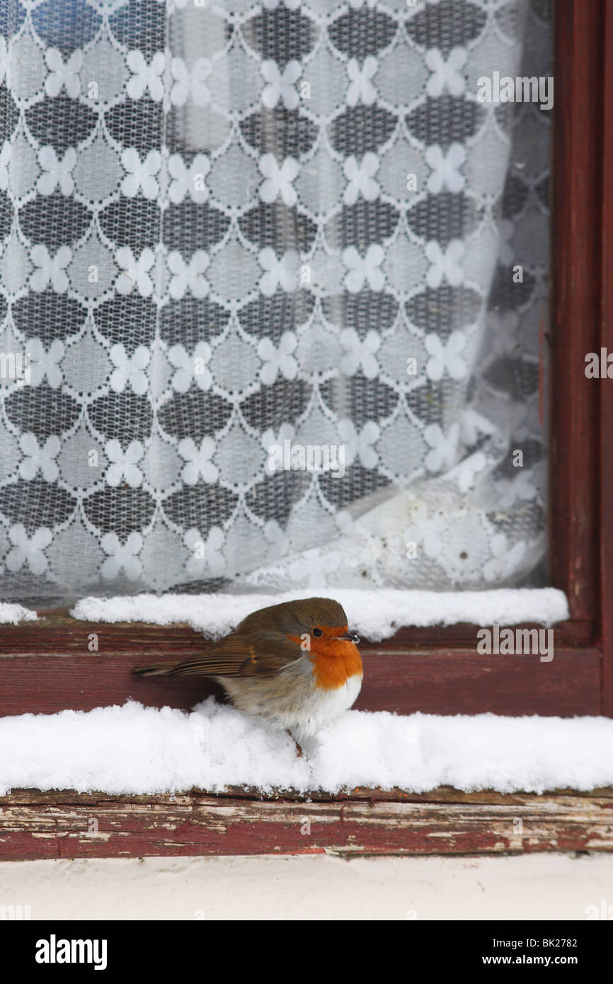 Robin (Erithacus rubecula) perching in snow covered windowsill - Stock Image