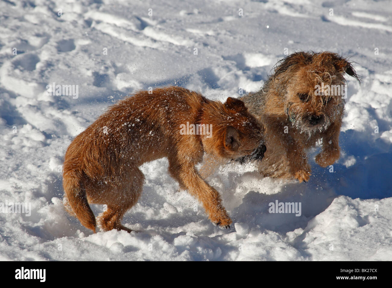 Border terriers playing in snow - Stock Image
