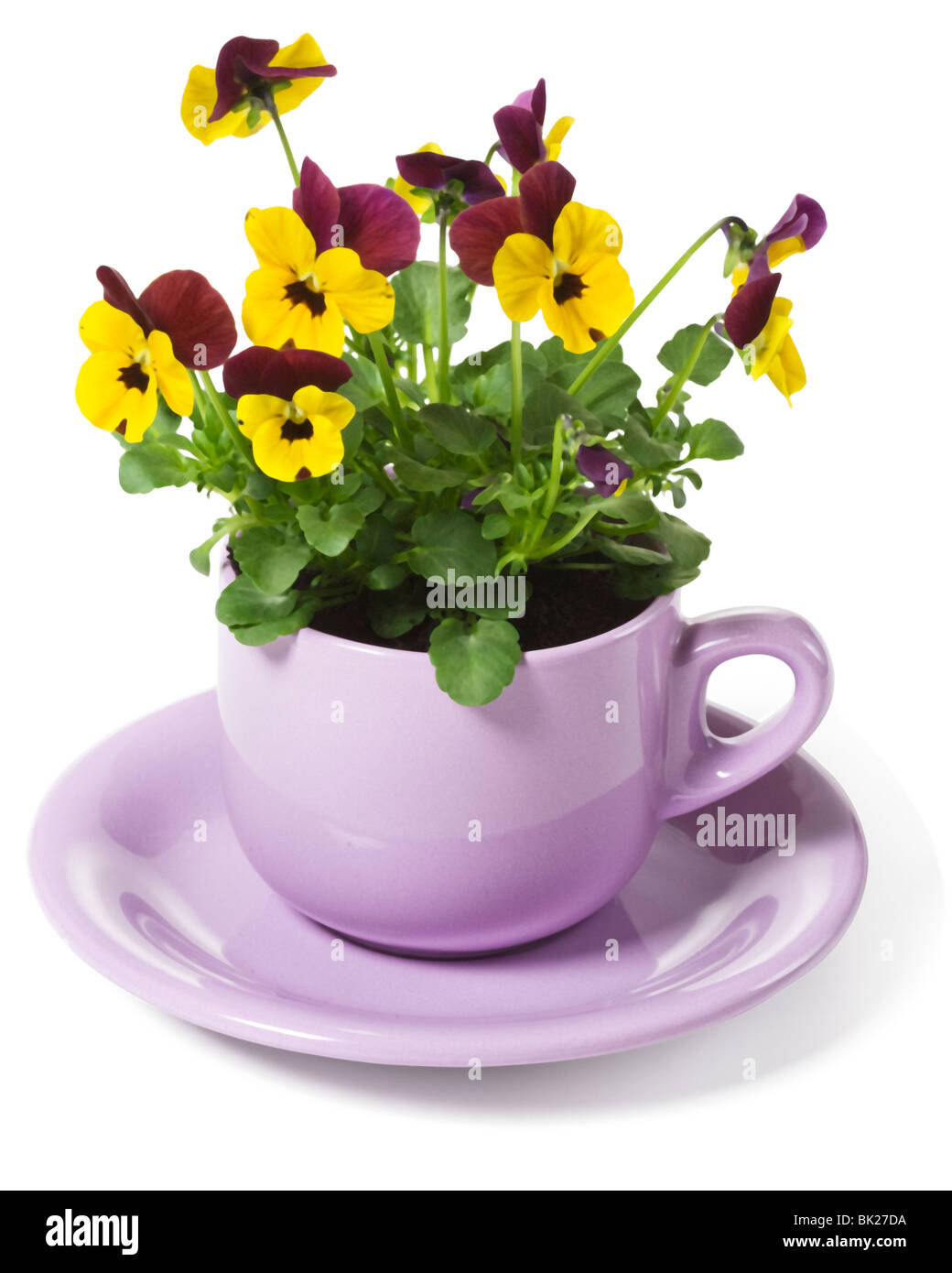 Yellow Pansies Planted in a Cup on White Background - Stock Image